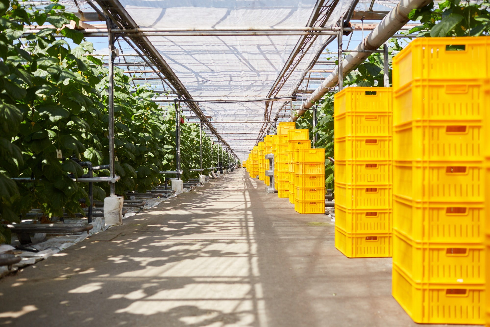 Harvested crops in greenhouse