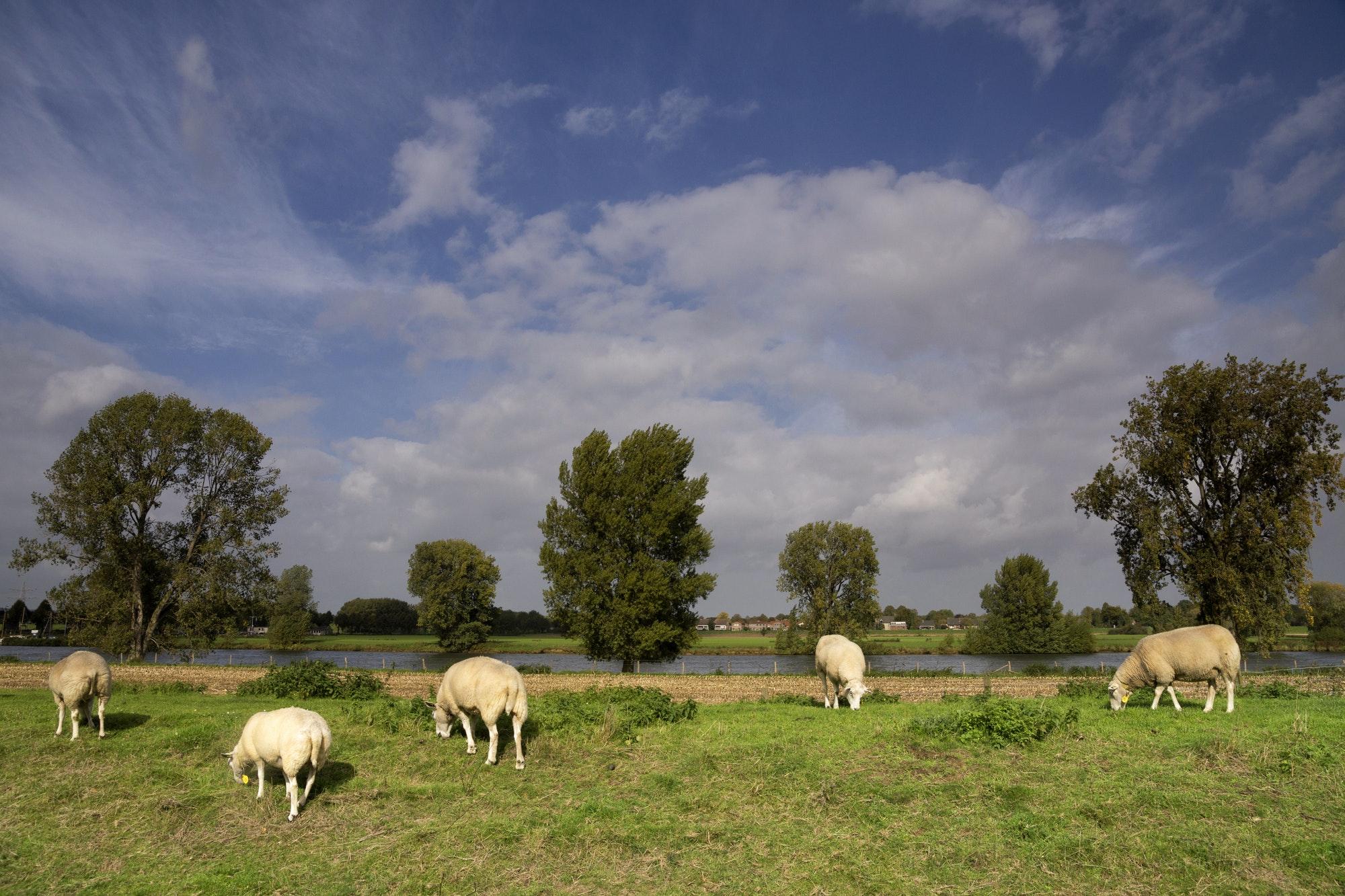 Sheep on a dike